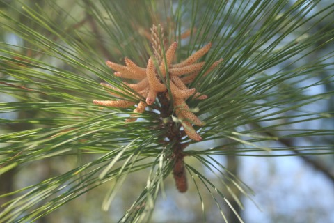 pine-pollen-154