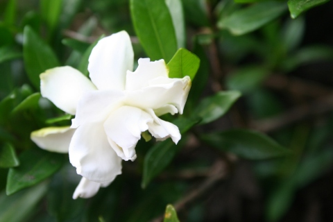 Gardenia 'Radicans'