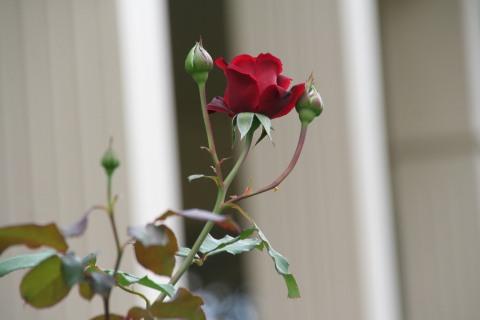 Cl. Don Jaun rose